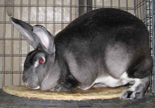 Rabbit Health - Timid Rex Rabbit