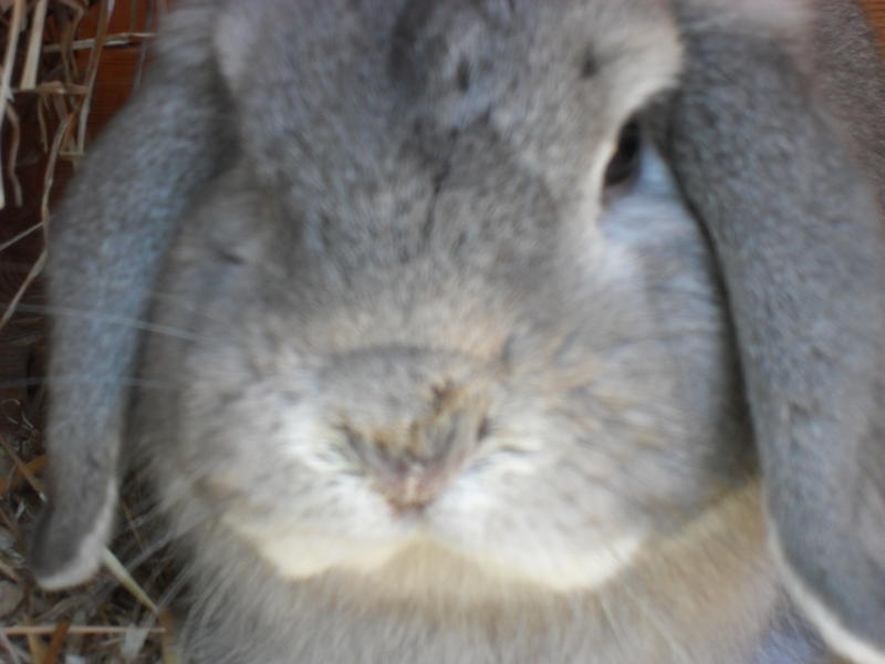UK rabbit with snotty nose
