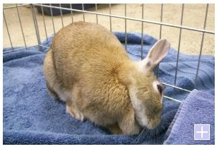 PetFinder rabbit for sale with wry neck