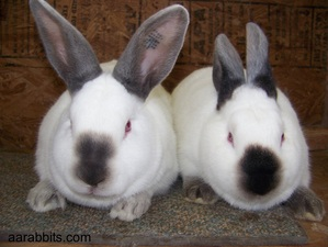 Show Quality Meat Rabbits from AA Rabbitry