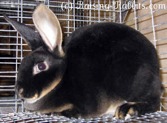 All rabbit breeds - Standard Rex Rabbit (Black Otter)