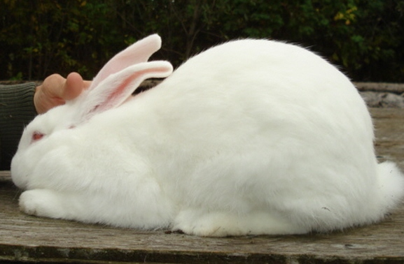 American Rabbit - White (REW)