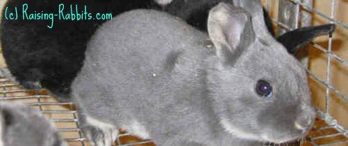 4-week-old show quality Blue Otter Rex rabbit