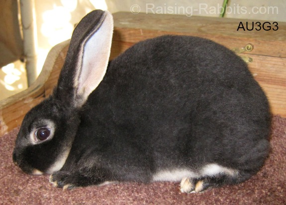 Junior Black Otter Rex Rabbit