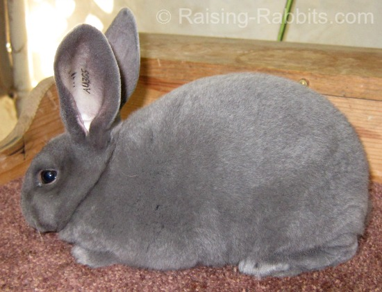 Junior Blue Rex Rabbit