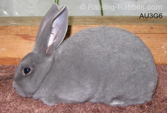 Blue Rex Rabbit