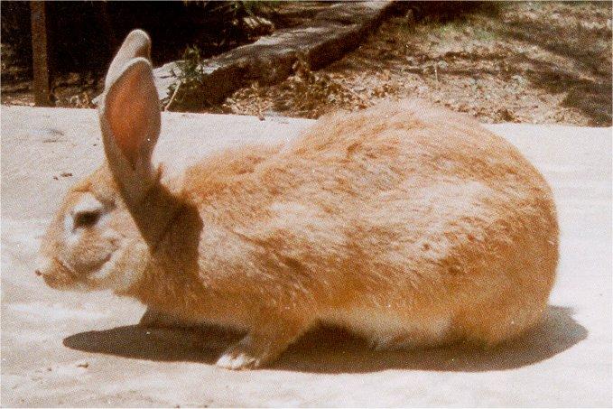 Baladi Rabbit in Egypt