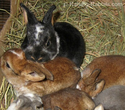 Pet-marked broken rex rabbits, which are also healthy and high quality