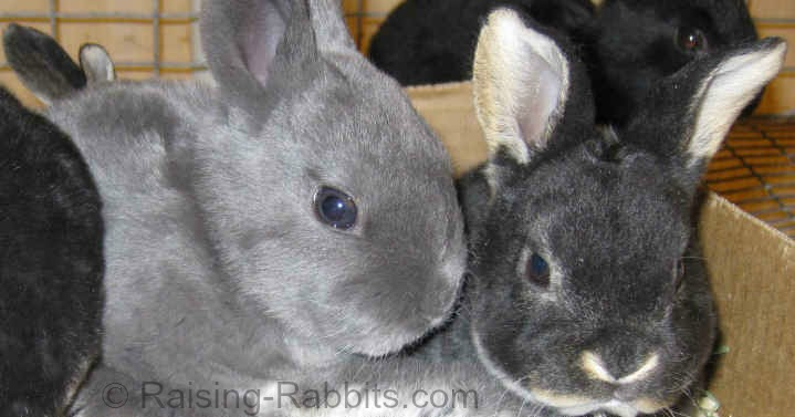 Blue and black otter Rex rabbit kits
