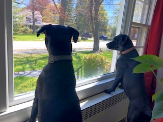 Dogs Bonnie and Clyde are eagerly looking forward to their raw rabbit meals