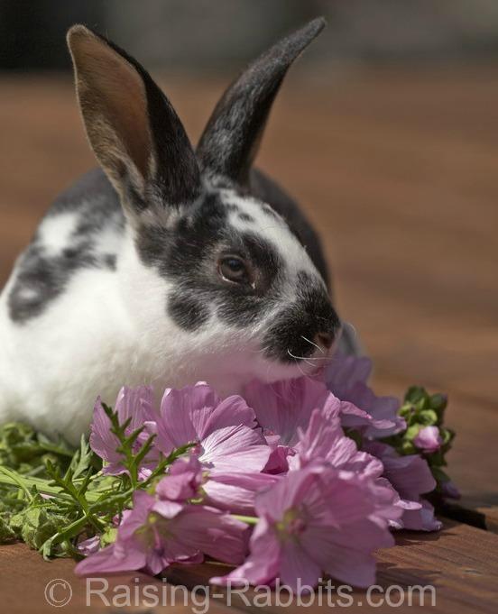 Rex rabbit outdoors