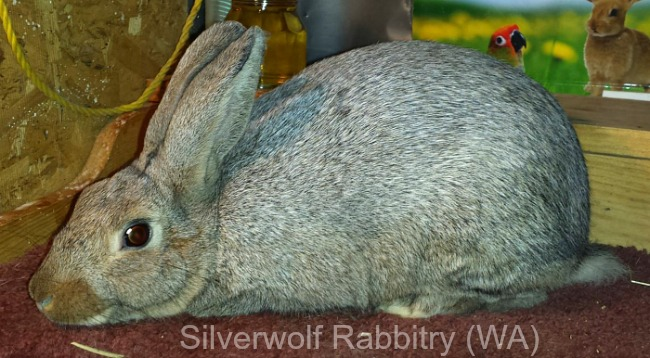 Silver Rabbit (brown), owned and bred by Silverwolf Rabbitry in WA