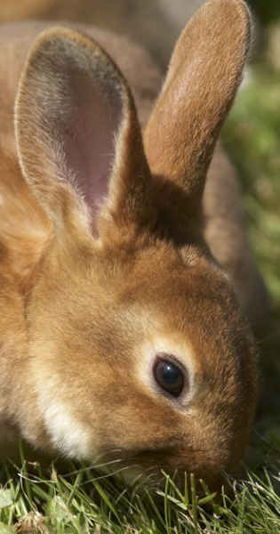 Castor Rex rabbit nibbling grass