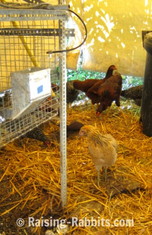 Backyard chickens in the rabbitry