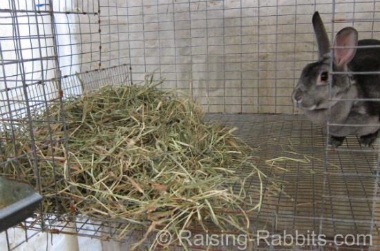 Chinchilla Rex doe can rest her rabbit feet on piles of hay