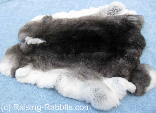 Rabbit Farming - photo of a well-tanned chinchilla rex pelt