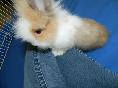 One of the double maned Lionheads I am keeping to breed with. Her name is Eisley. :]