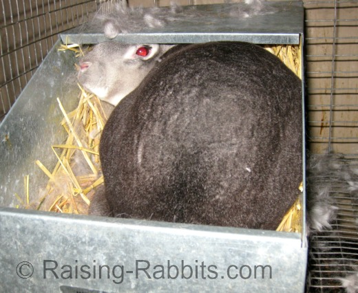 Rabbit in process of giving birth in nest box