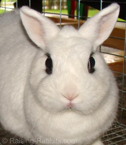 Dwarf Hotot show rabbit