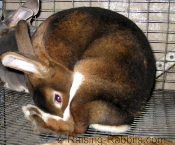Rabbit eating cecotropes directly from the anus