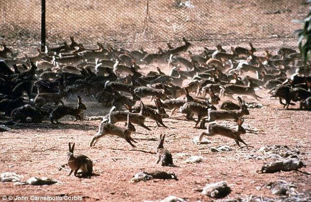 Australia's massive feral rabbit problem, circa early 1900s