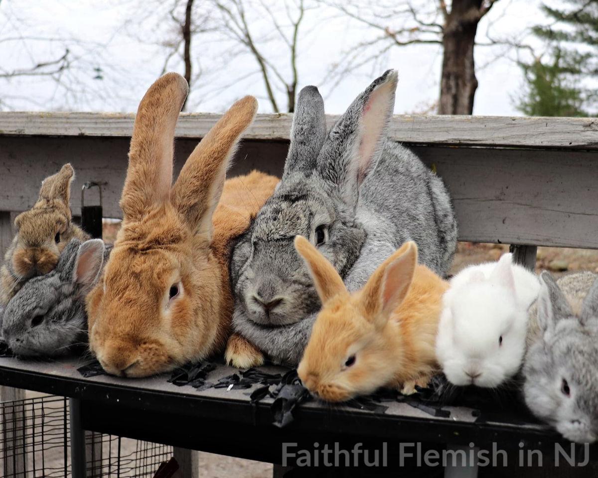 Faithful Flemish Rabbitry in New Jersey