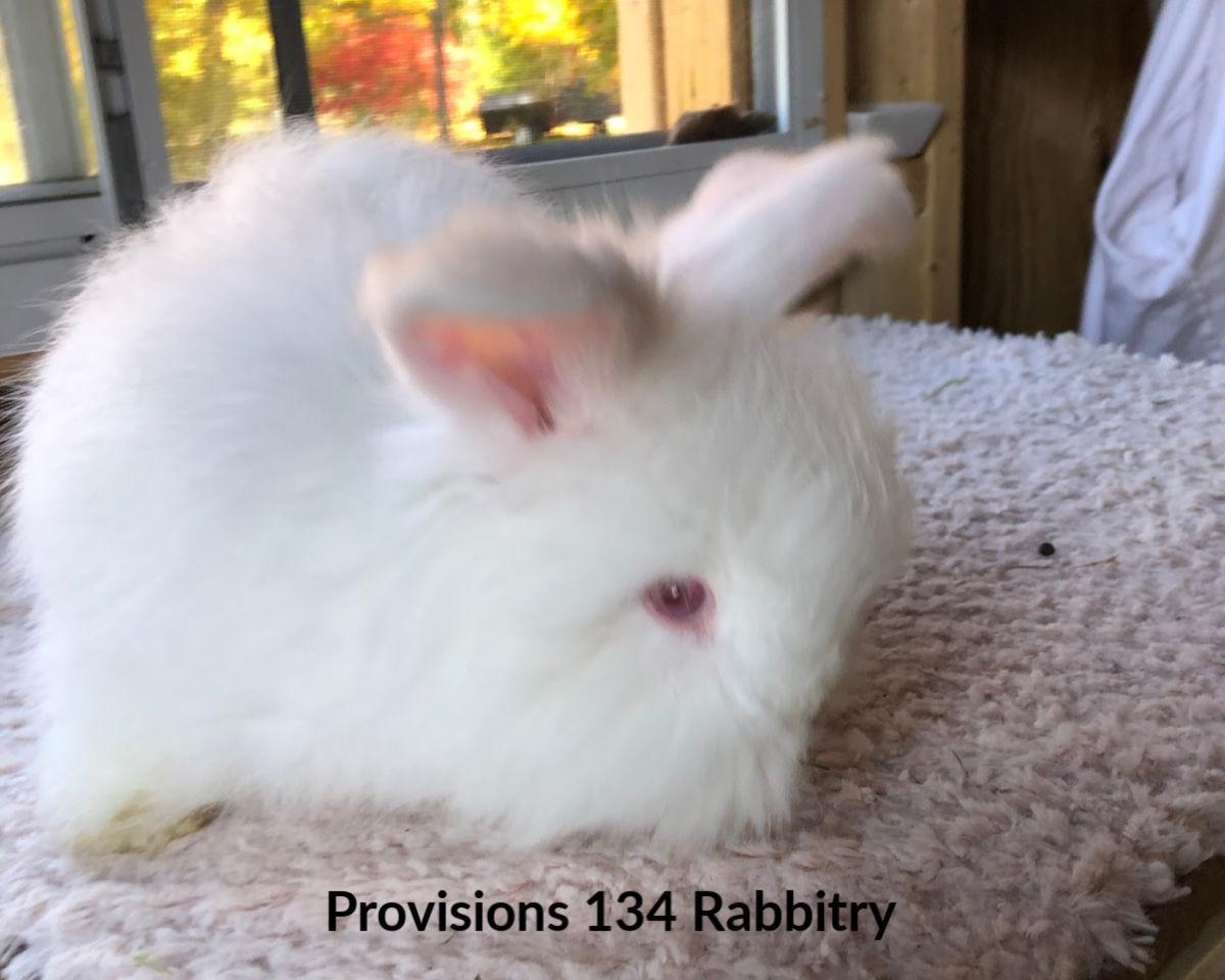 REW Giant Angora Rabbit bunny raised by Provisions 134 Rabbitry in MA