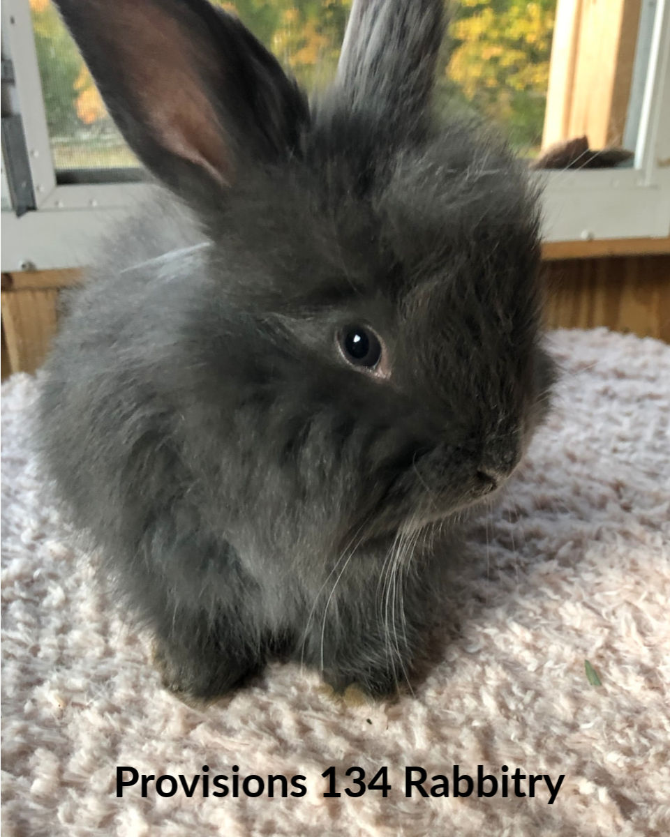 Blue Giant Angora doe, raised by Provisions 134 Rabbitry in MA