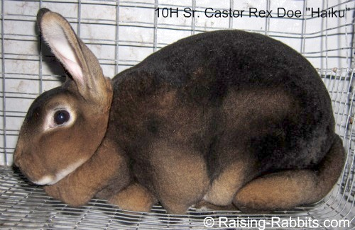 "Castor Rex Rabbit is an agouti – ""A"""