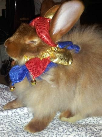 Satin Angora rabbit named Milton, raised on Bunny Branola supplements