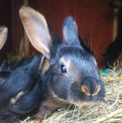 Belgian Hare 3 weeks old