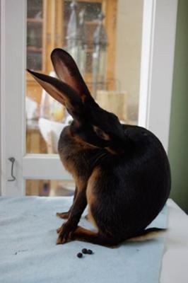 Beautiful 'Biscuit,' my Belgian Hare doe