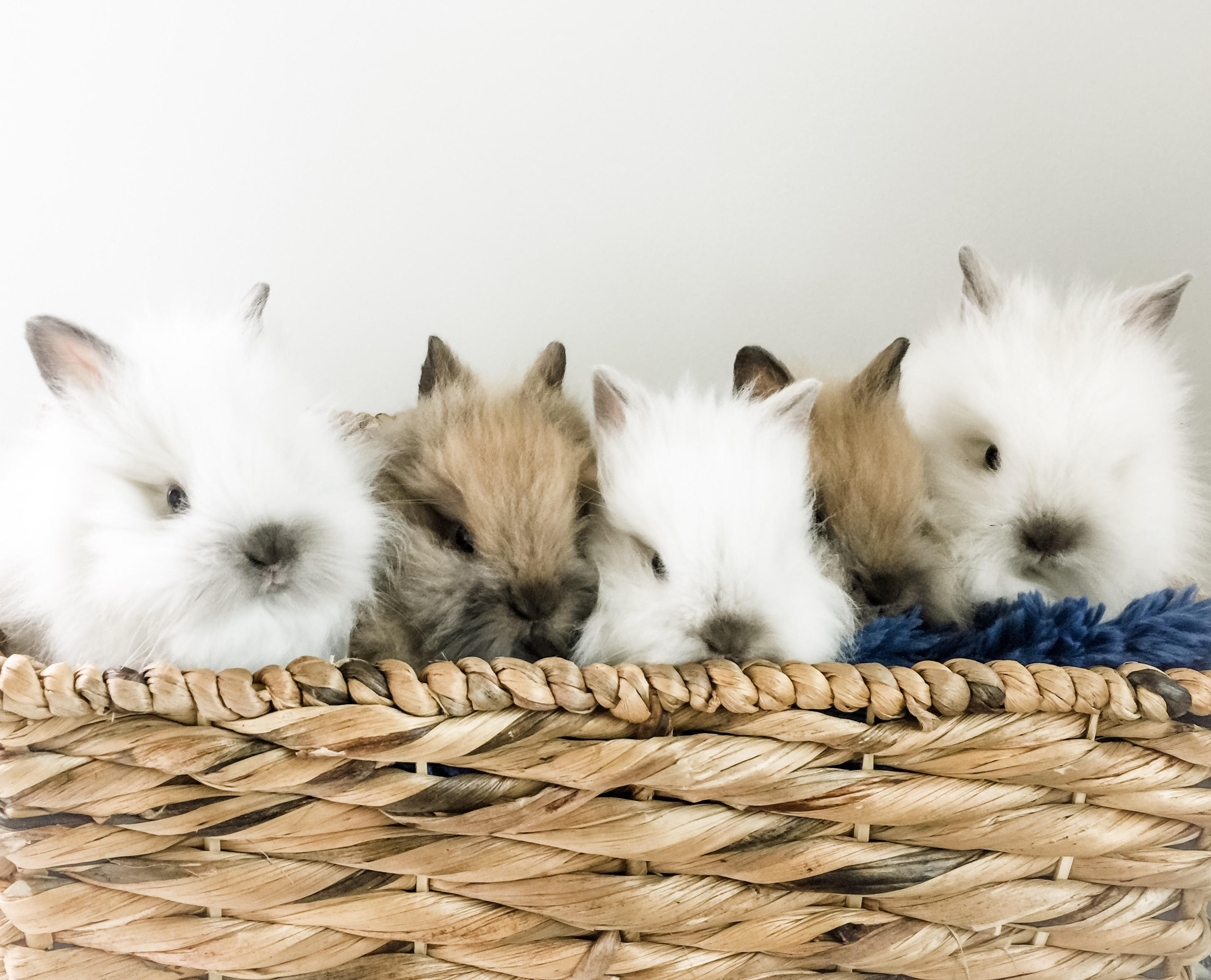 Siamese Sable Lionhead in the USA