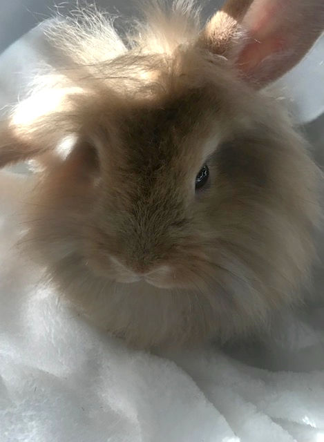 Mixed breed lionhead-minilop bunnies available for purchase from the owner through Raising-Rabbits.com