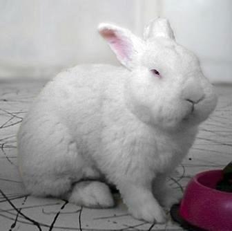 NZW pet rabbit in Romania