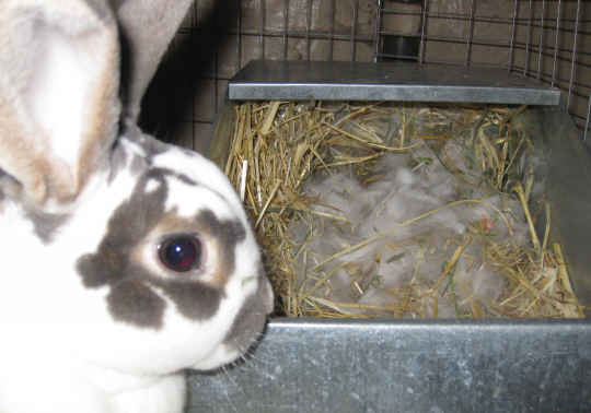 thỏ mẹ