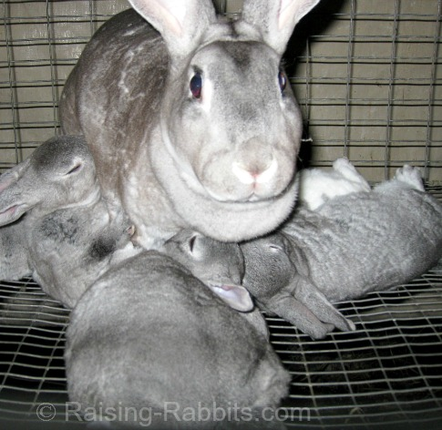 These chinchilla Rex kits need to be weaned!