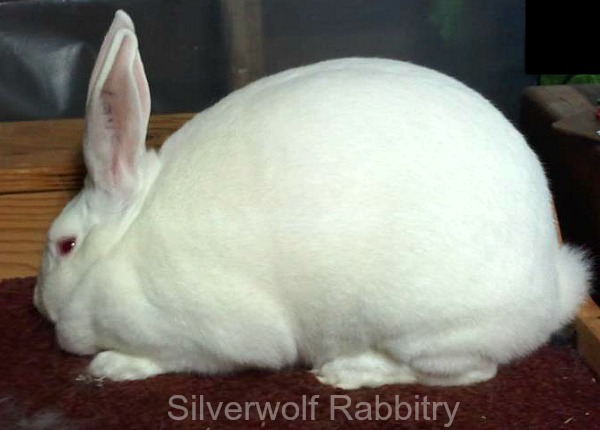 This is one solid-as-a-brick New Zealand White Rabbit