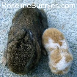 dwarf rabbit peanut compared to true dwarf rabbit