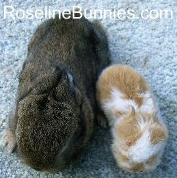 dwarf rabbit peanut compared to true dwarf rabbit