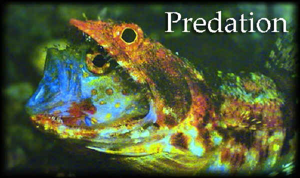 Predation in lizardfish