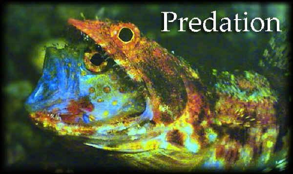 Predation in lizardfish