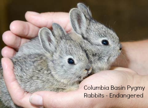 Critically endangered Columbia Basin Pygmy Rabbits