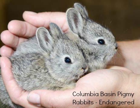 Pygmy rabbits