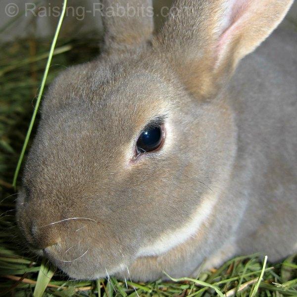 Rex rabbit eating hay