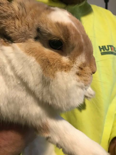 Pictured: Side view of a rabbit of unknown age with a facial abscess the size of a golf ball or baseball.