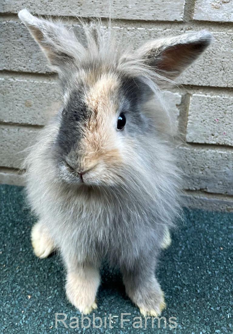 Rabbits for Sale in Texas. Texas Rabbit Breeders