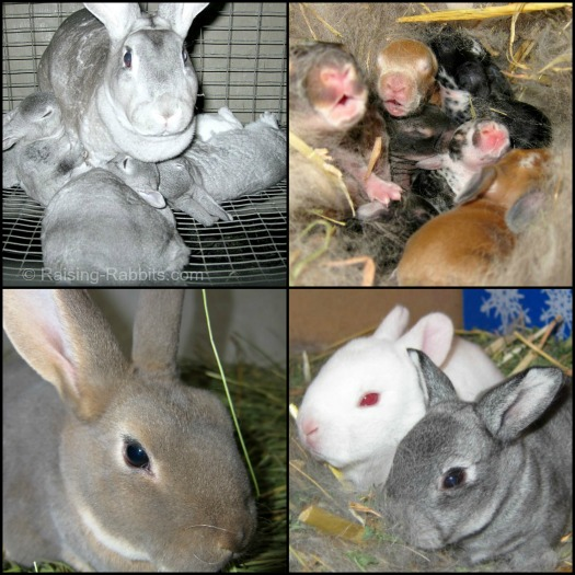 Raising Rabbits, from mating to weaning and more