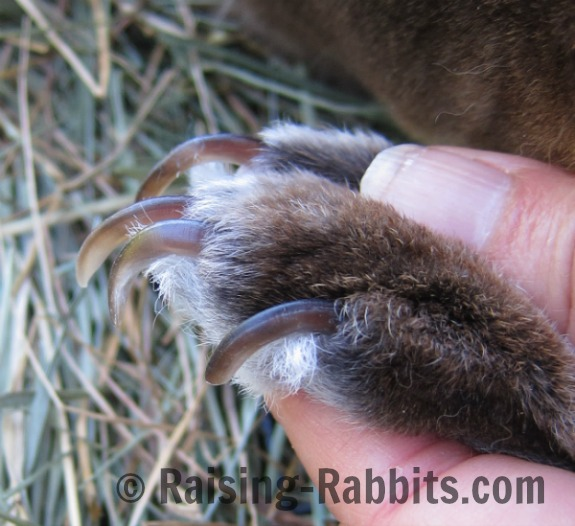 Long claws on rabbit's hind foot.