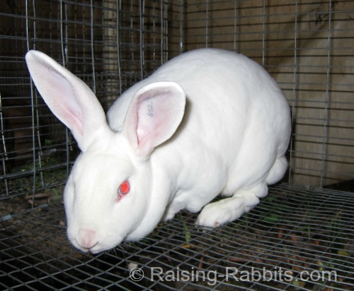 You can keep rabbits as pets both in hutches in the back yard or as a house rabbit if you prefer